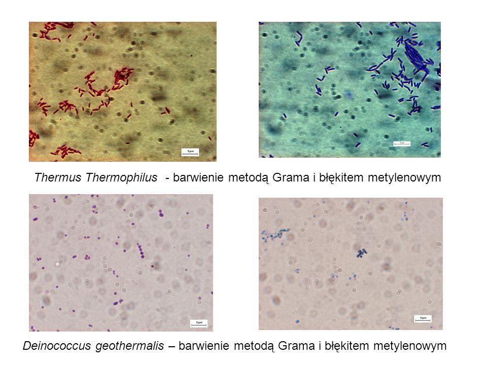Thermus Thermophilus - barwienie metodą Grama i błękitem metylenowym