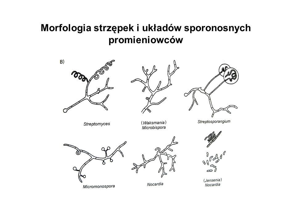 Morfologia strzępek i układów sporonosnych promieniowców
