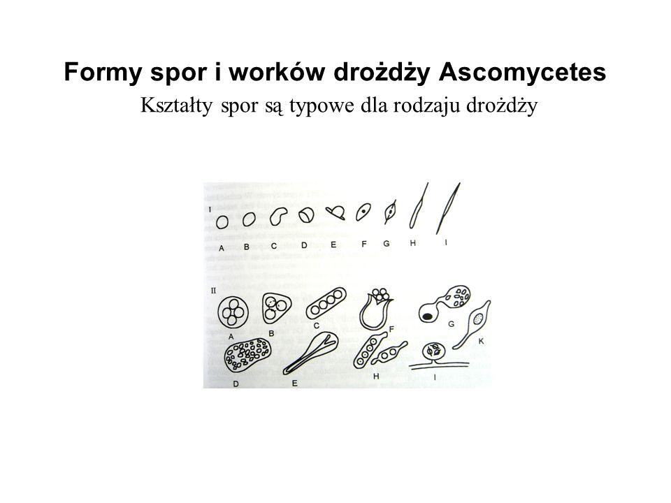 Formy spor i worków drożdży Ascomycetes Kształty spor są typowe dla rodzaju drożdży