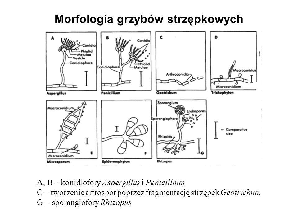 Morfologia grzybów strzępkowych