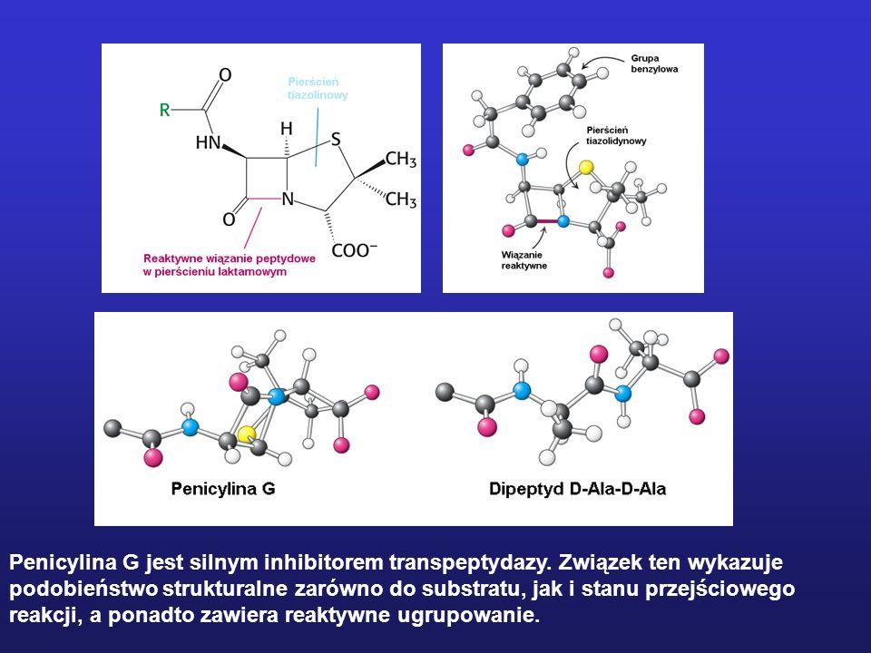Penicylina G jest silnym inhibitorem transpeptydazy