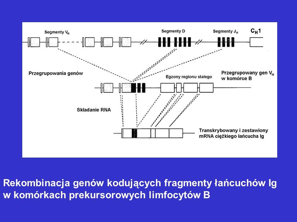 Rekombinacja genów kodujących fragmenty łańcuchów Ig