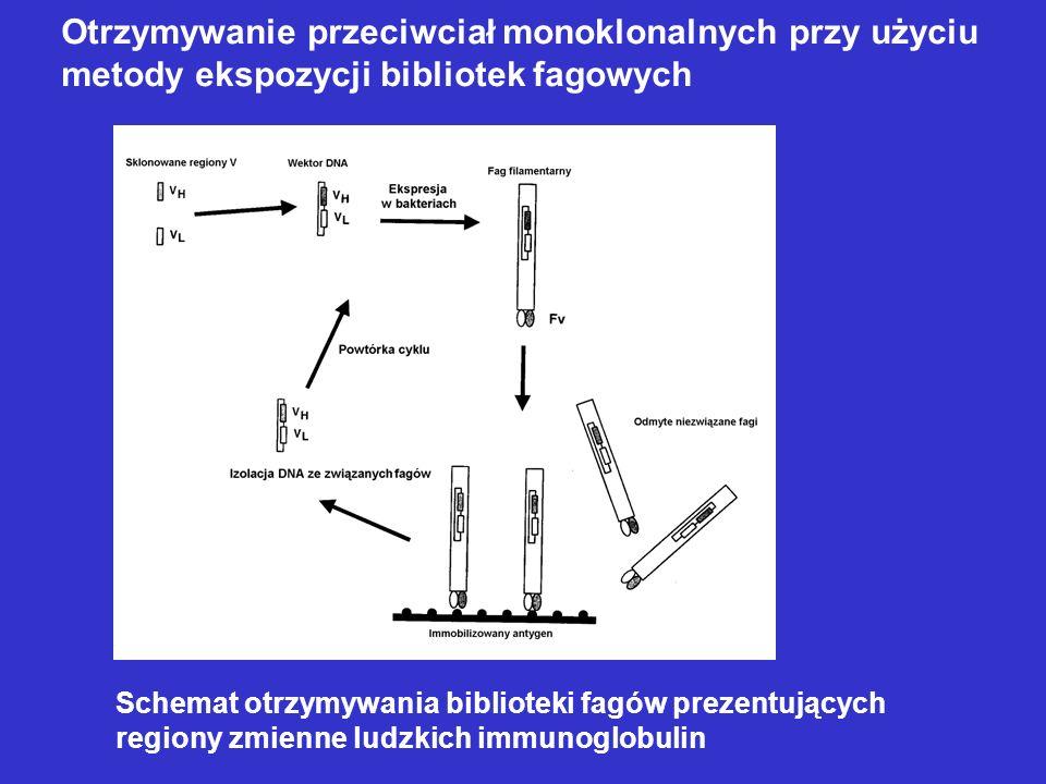 Otrzymywanie przeciwciał monoklonalnych przy użyciu
