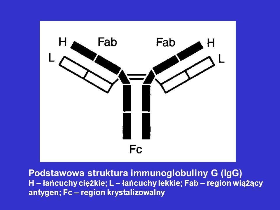 Podstawowa struktura immunoglobuliny G (IgG)