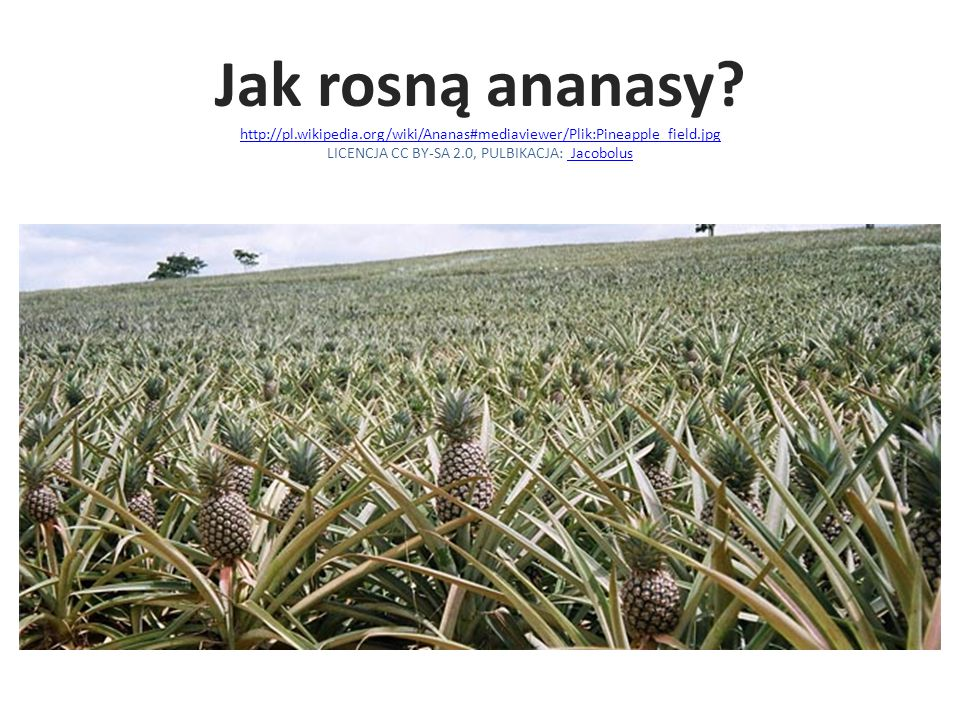Jak rosną ananasy. http://pl. wikipedia