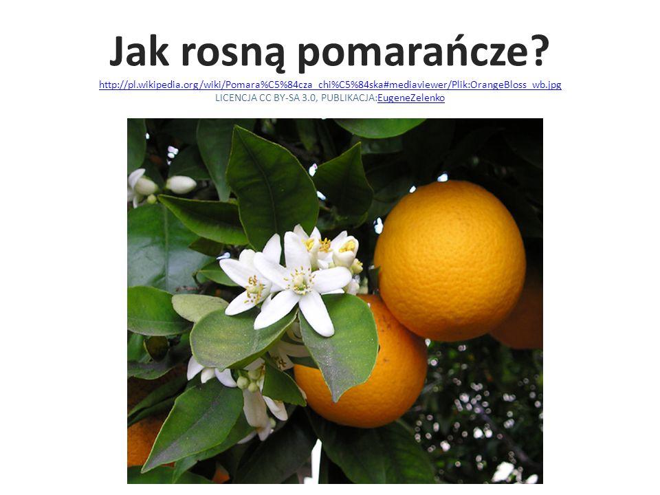 Jak rosną pomarańcze. http://pl. wikipedia