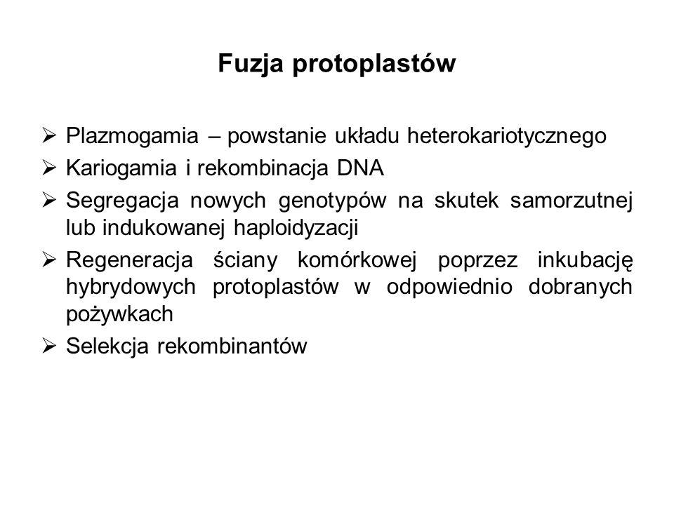 Fuzja protoplastów Plazmogamia – powstanie układu heterokariotycznego