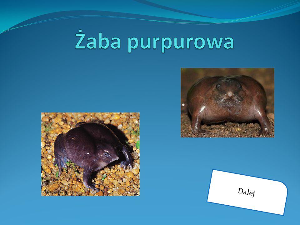 Żaba purpurowa Dalej