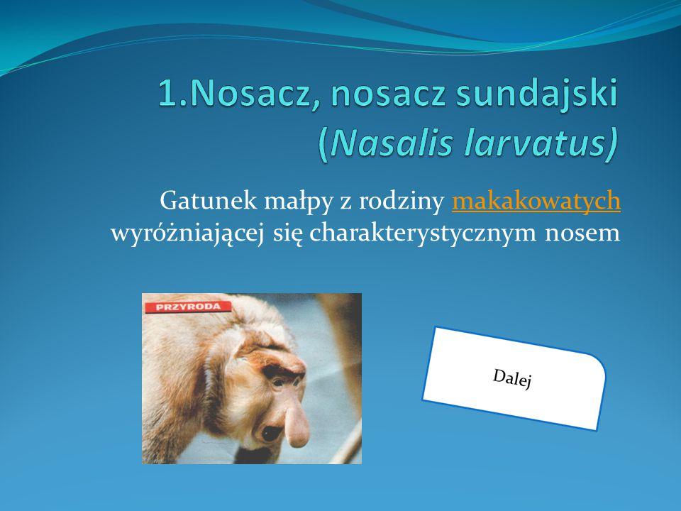 1.Nosacz, nosacz sundajski (Nasalis larvatus)