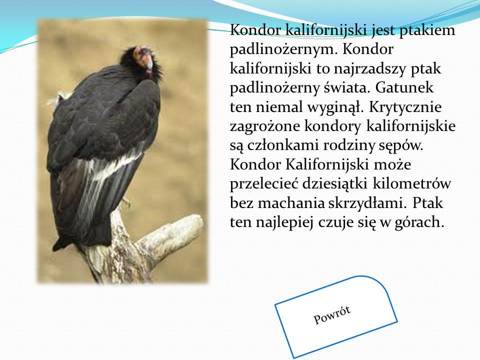 Kondor kalifornijski jest ptakiem padlinożernym