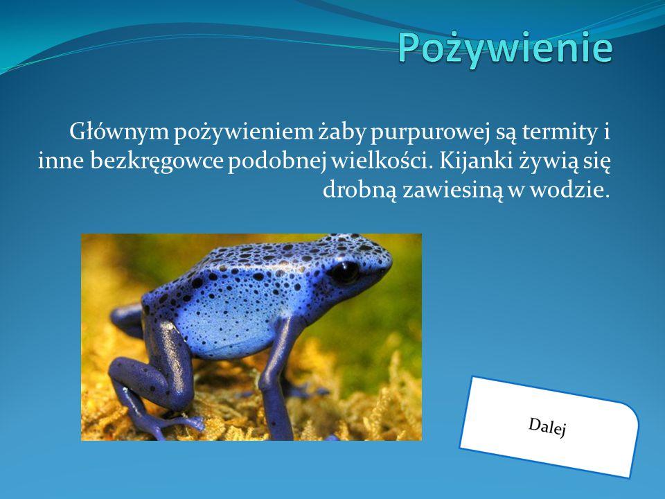 Pożywienie Głównym pożywieniem żaby purpurowej są termity i inne bezkręgowce podobnej wielkości.