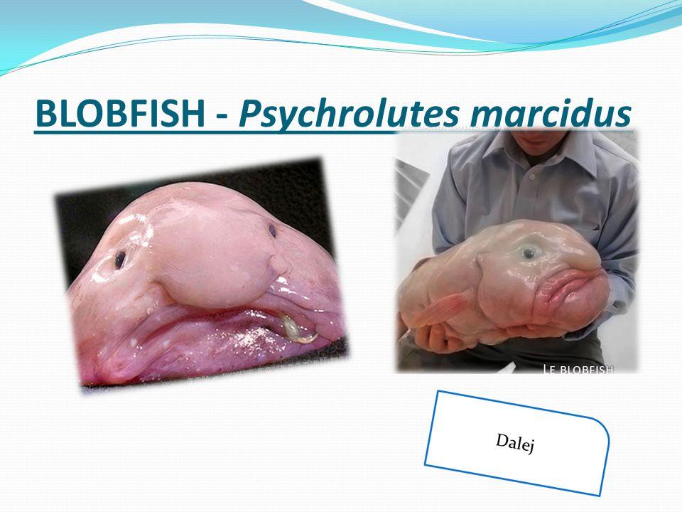 BLOBFISH - Psychrolutes marcidus