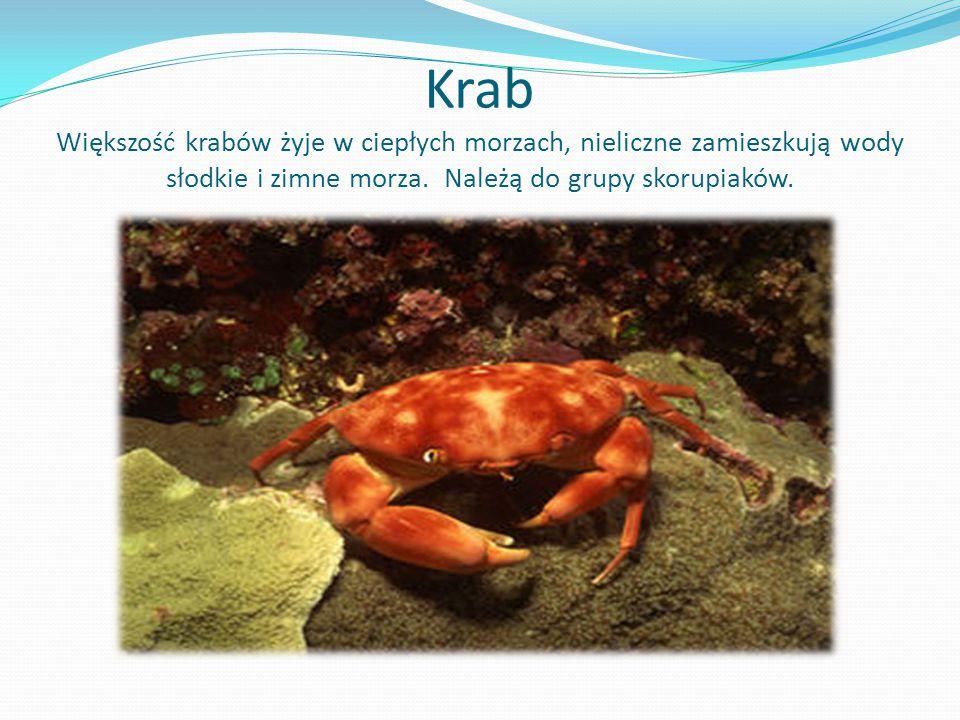 Krab Większość krabów żyje w ciepłych morzach, nieliczne zamieszkują wody słodkie i zimne morza.