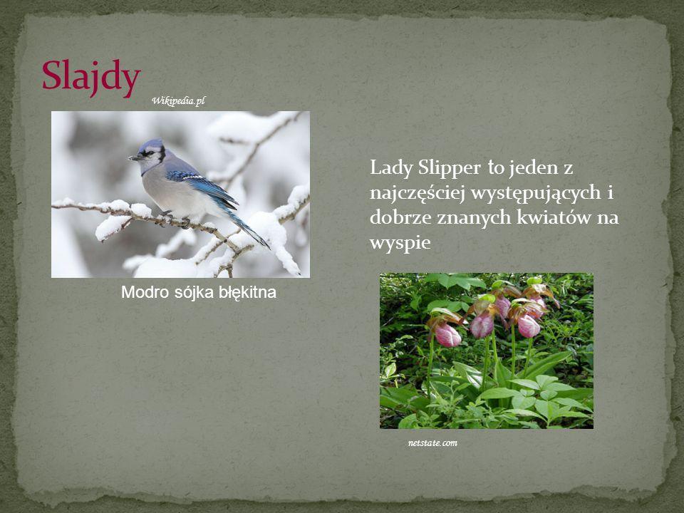 Slajdy Wikipedia.pl. Lady Slipper to jeden z najczęściej występujących i dobrze znanych kwiatów na wyspie.