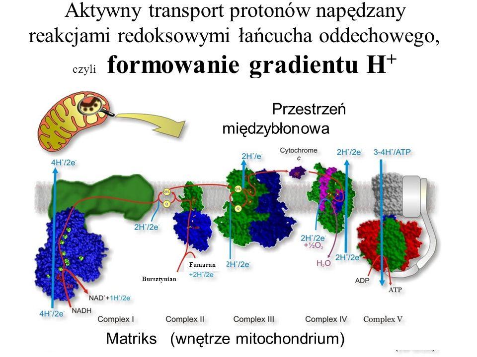 Aktywny transport protonów napędzany reakcjami redoksowymi łańcucha oddechowego, czyli formowanie gradientu H+
