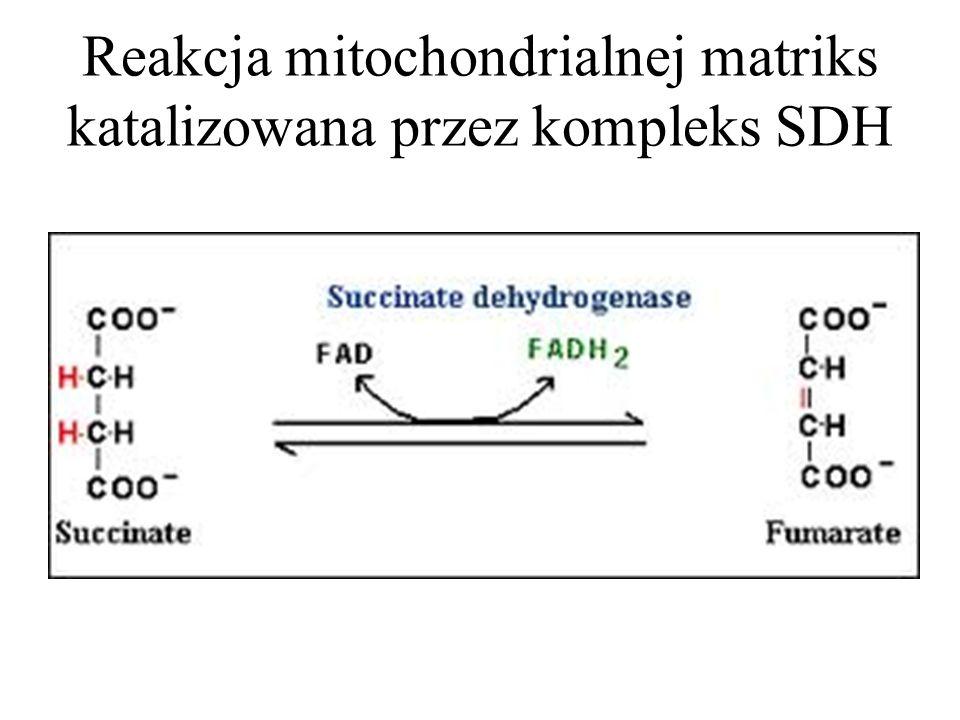 Reakcja mitochondrialnej matriks katalizowana przez kompleks SDH