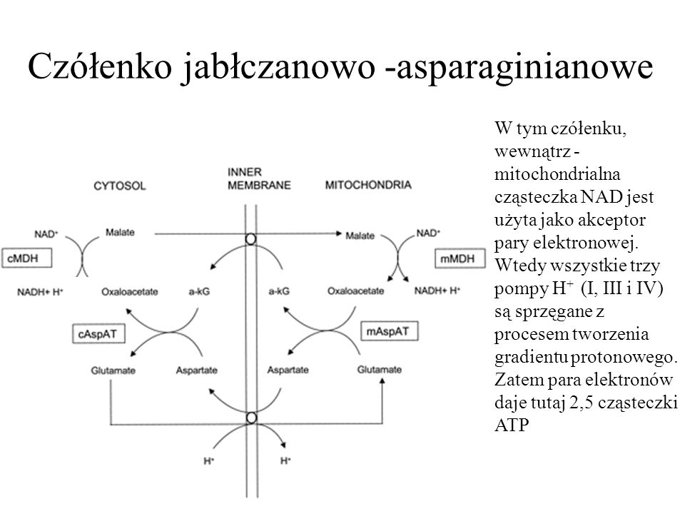 Czółenko jabłczanowo -asparaginianowe