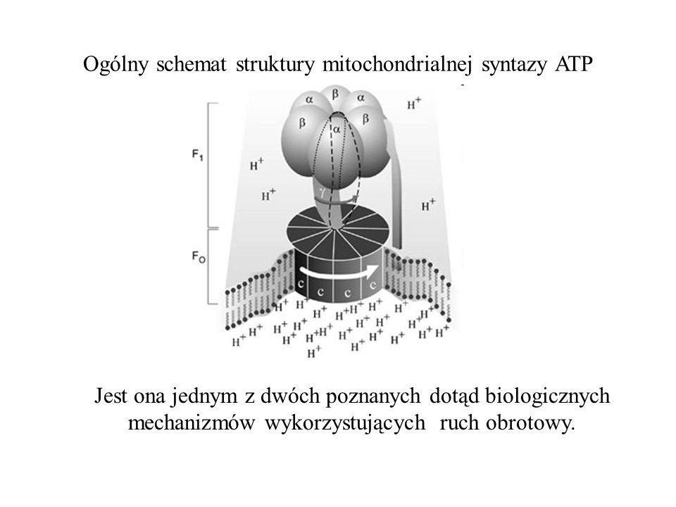 Ogólny schemat struktury mitochondrialnej syntazy ATP