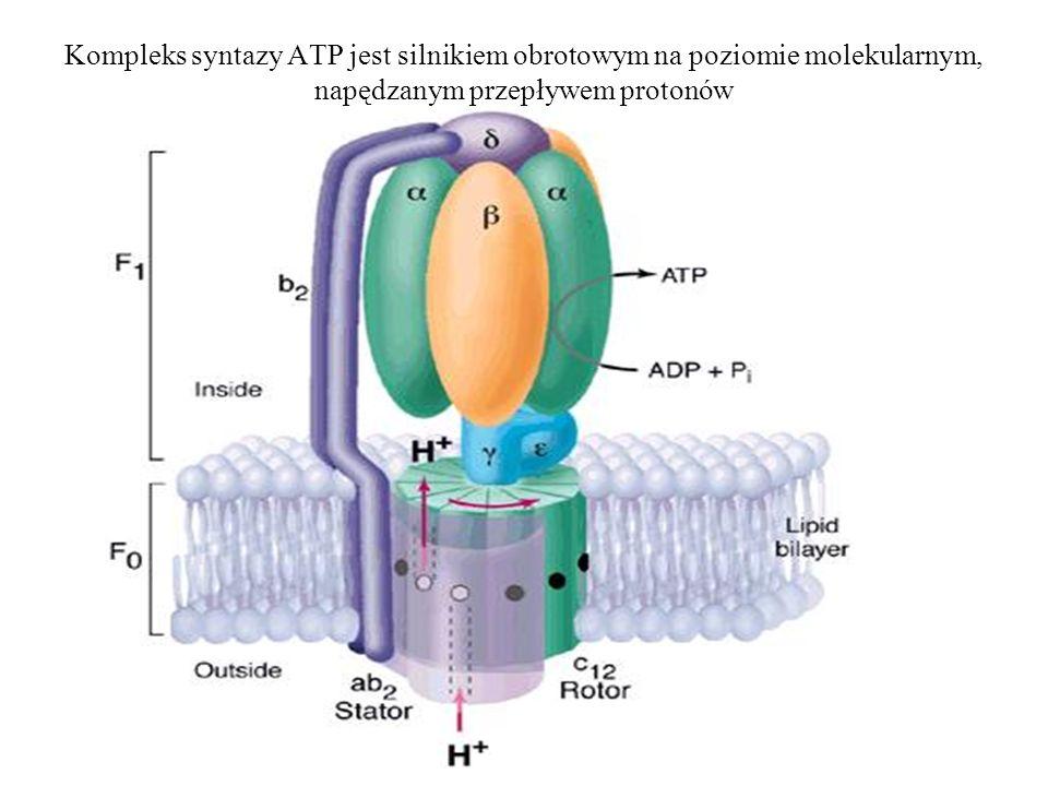 Kompleks syntazy ATP jest silnikiem obrotowym na poziomie molekularnym, napędzanym przepływem protonów