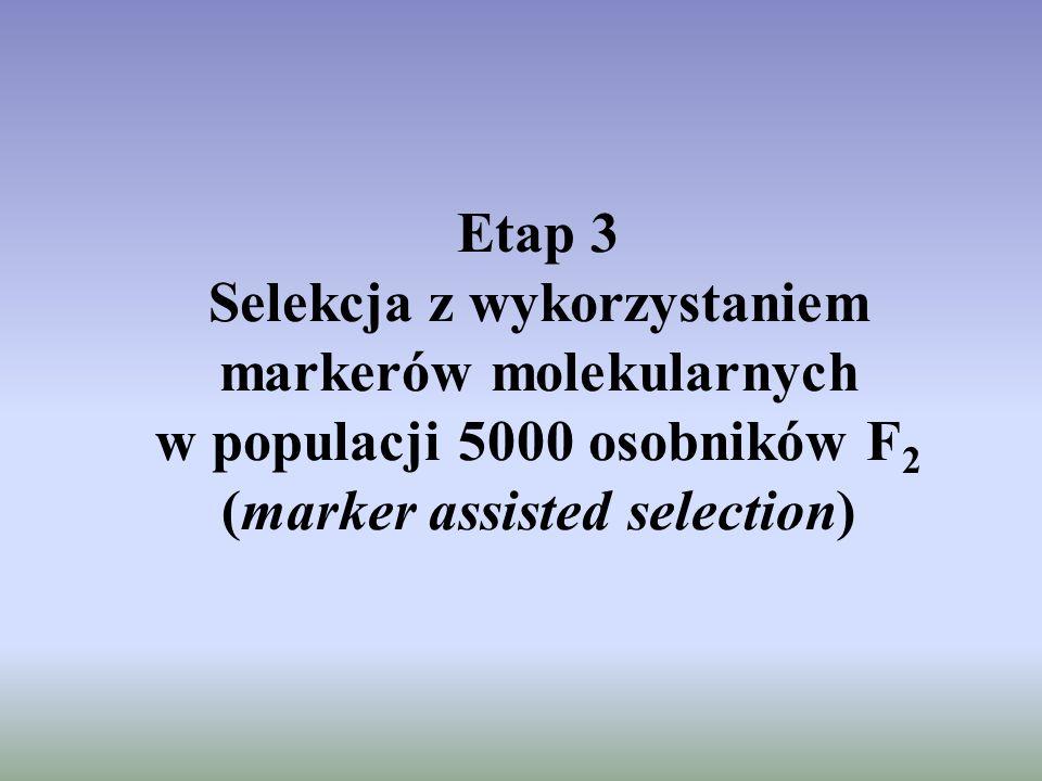 Etap 3 Selekcja z wykorzystaniem markerów molekularnych w populacji 5000 osobników F2 (marker assisted selection)