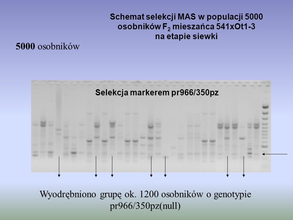 Schemat selekcji MAS w populacji 5000 osobników F2 mieszańca 541xOt1-3