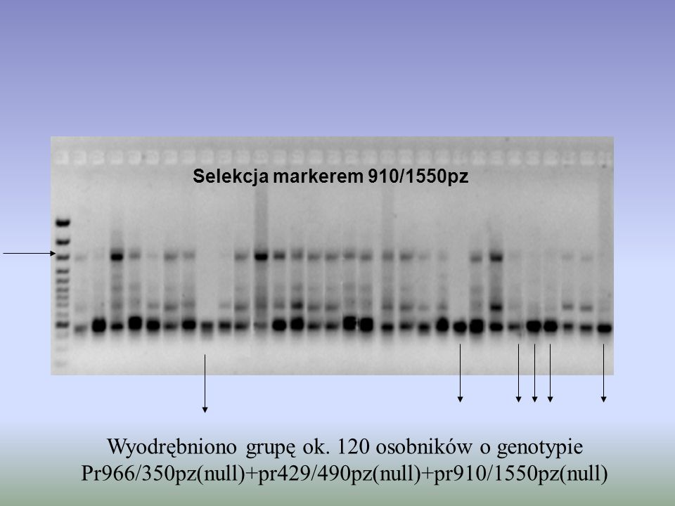 Wyodrębniono grupę ok. 120 osobników o genotypie
