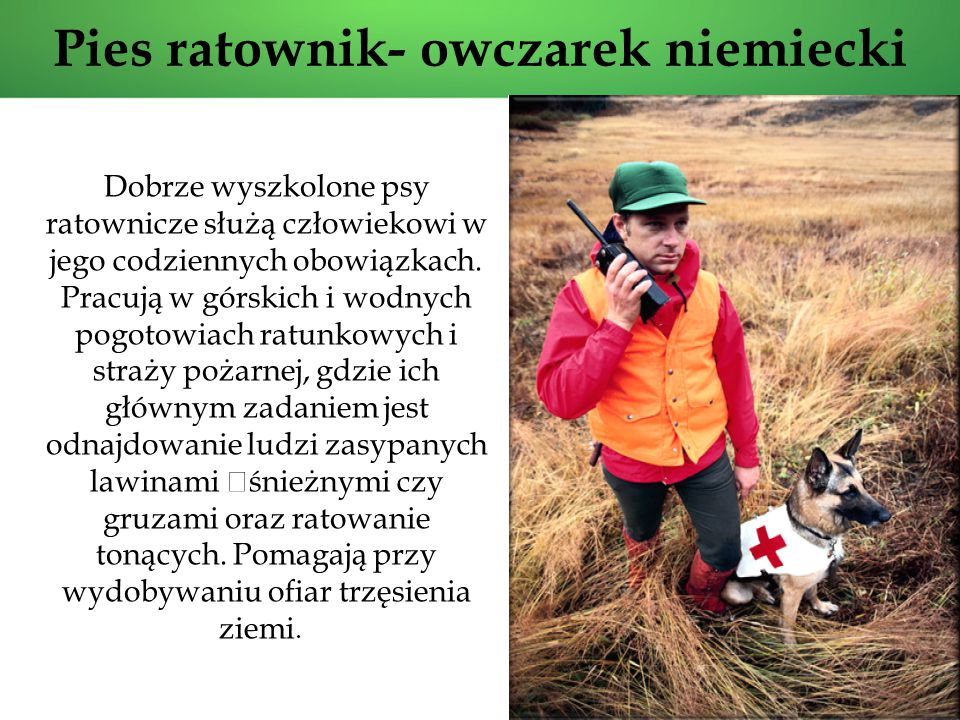 Pies ratownik- owczarek niemiecki