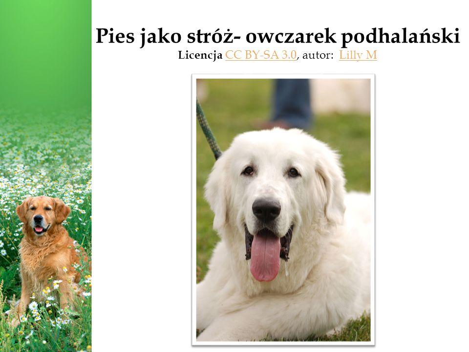 Pies jako stróż- owczarek podhalański Licencja CC BY-SA 3