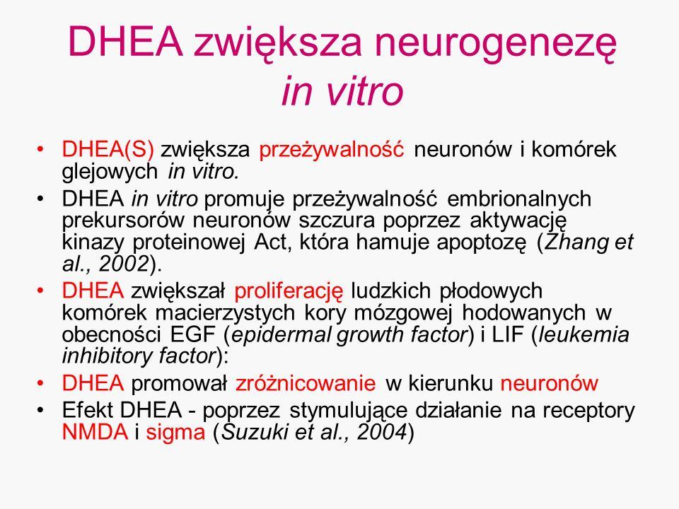 DHEA zwiększa neurogenezę in vitro