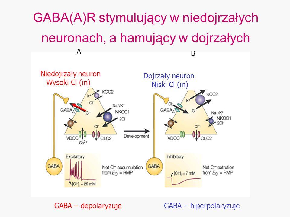GABA – hiperpolaryzuje