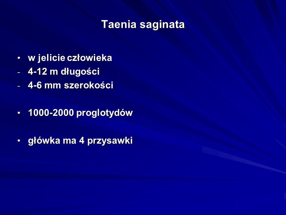 Taenia saginata w jelicie człowieka 4-12 m długości 4-6 mm szerokości