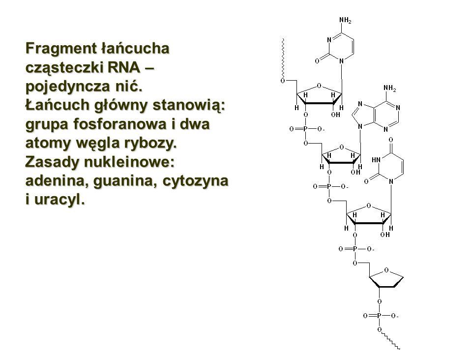 Fragment łańcucha cząsteczki RNA – pojedyncza nić.