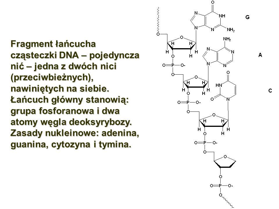 Fragment łańcucha cząsteczki DNA – pojedyncza nić – jedna z dwóch nici (przeciwbieżnych), nawiniętych na siebie.