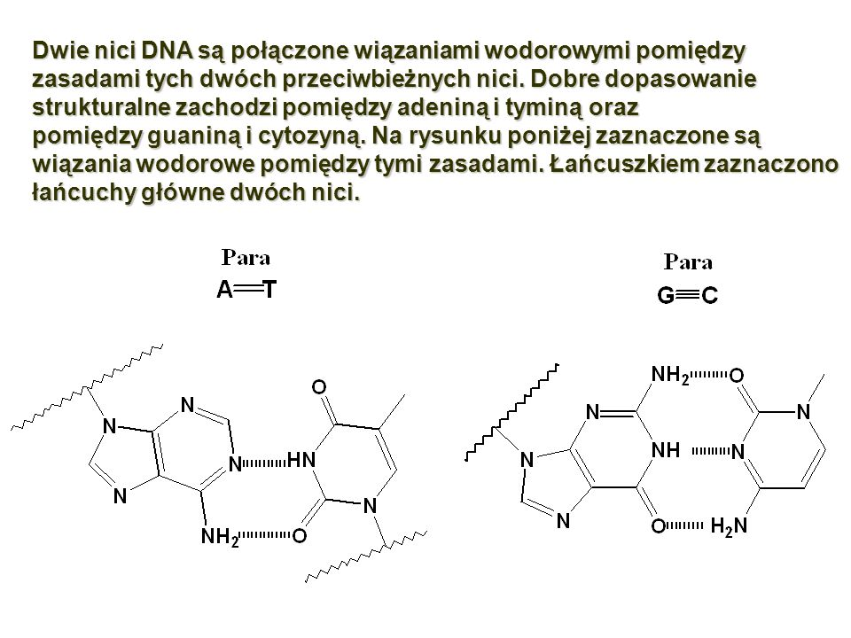 Dwie nici DNA są połączone wiązaniami wodorowymi pomiędzy zasadami tych dwóch przeciwbieżnych nici. Dobre dopasowanie strukturalne zachodzi pomiędzy adeniną i tyminą oraz