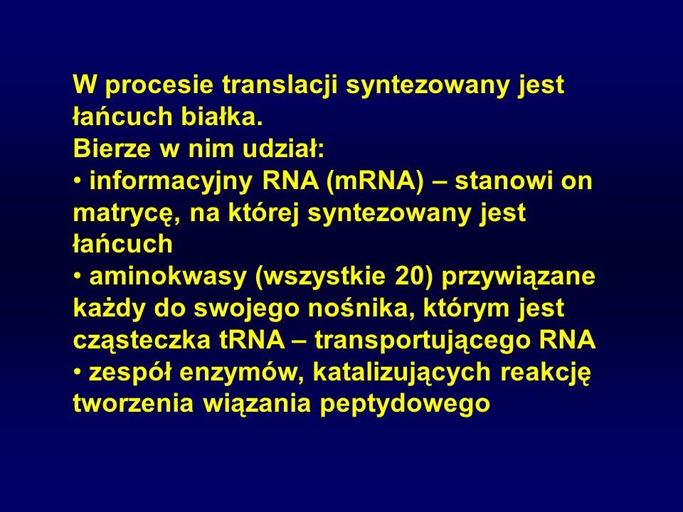 W procesie translacji syntezowany jest łańcuch białka.