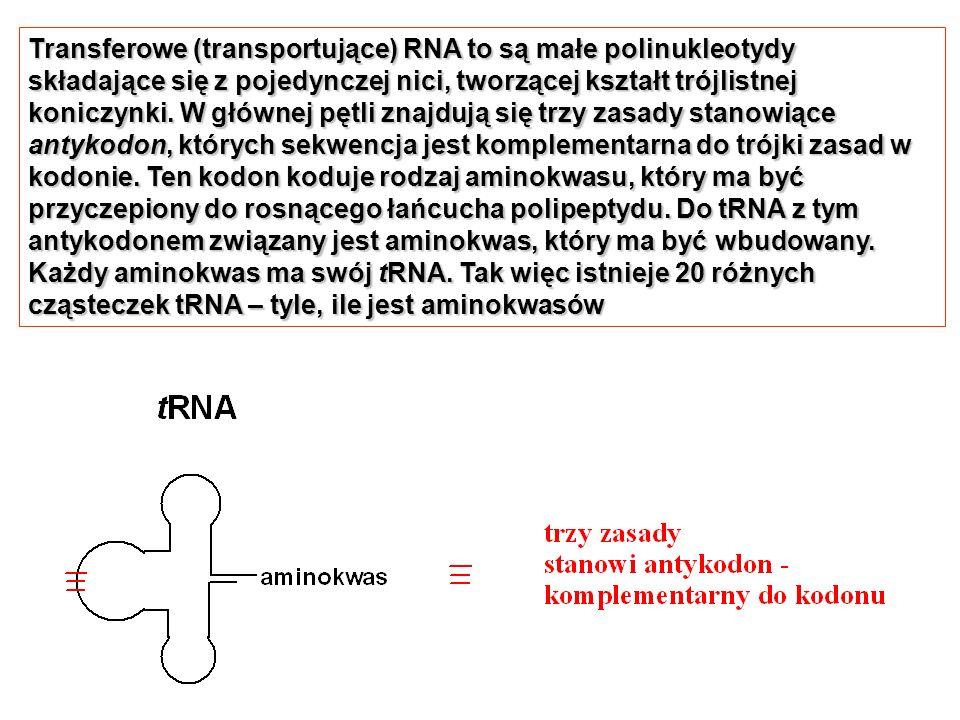 Transferowe (transportujące) RNA to są małe polinukleotydy składające się z pojedynczej nici, tworzącej kształt trójlistnej koniczynki. W głównej pętli znajdują się trzy zasady stanowiące antykodon, których sekwencja jest komplementarna do trójki zasad w kodonie. Ten kodon koduje rodzaj aminokwasu, który ma być przyczepiony do rosnącego łańcucha polipeptydu. Do tRNA z tym antykodonem związany jest aminokwas, który ma być wbudowany.