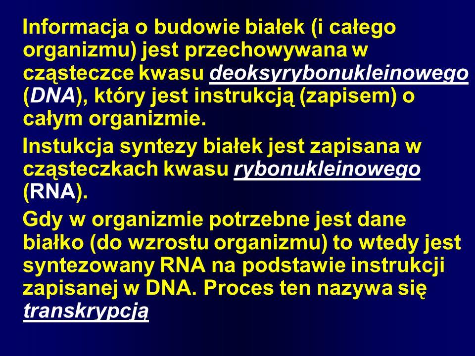 Informacja o budowie białek (i całego organizmu) jest przechowywana w cząsteczce kwasu deoksyrybonukleinowego (DNA), który jest instrukcją (zapisem) o całym organizmie.