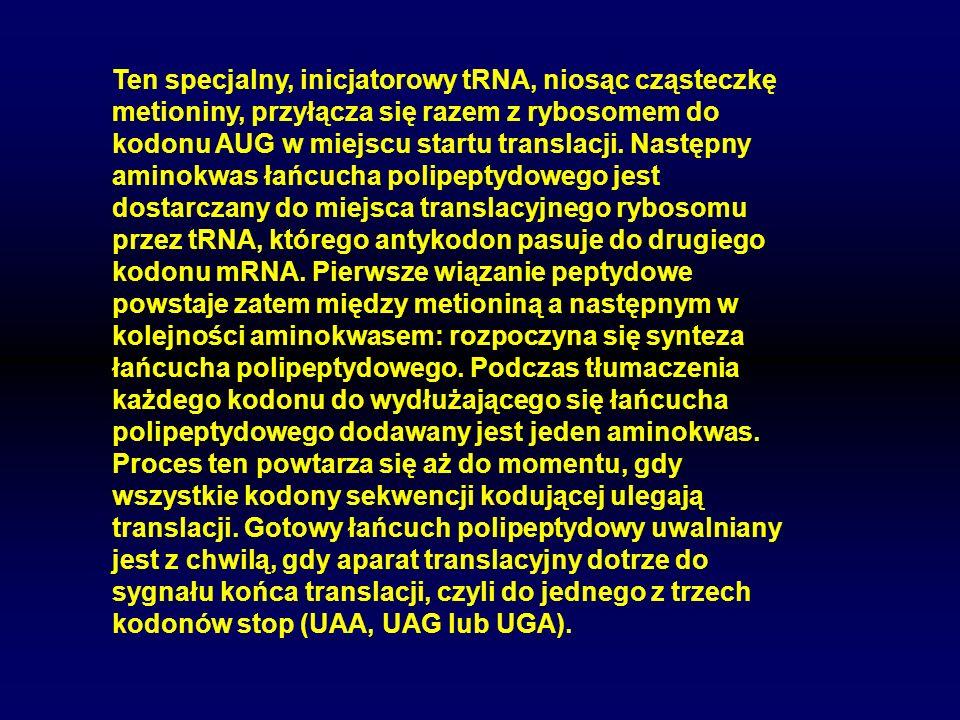 Ten specjalny, inicjatorowy tRNA, niosąc cząsteczkę metioniny, przyłącza się razem z rybosomem do kodonu AUG w miejscu startu translacji.