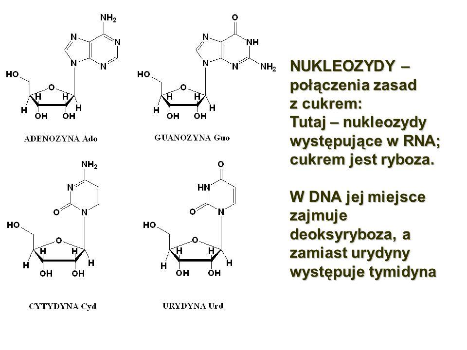 NUKLEOZYDY – połączenia zasad. z cukrem: Tutaj – nukleozydy występujące w RNA; cukrem jest ryboza.