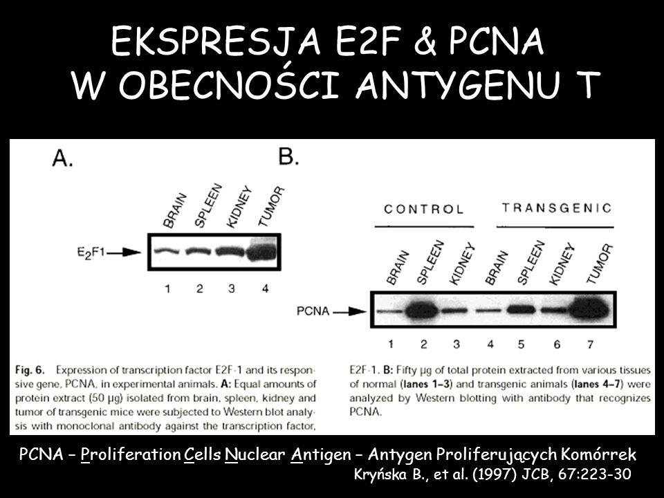 EKSPRESJA E2F & PCNA W OBECNOŚCI ANTYGENU T