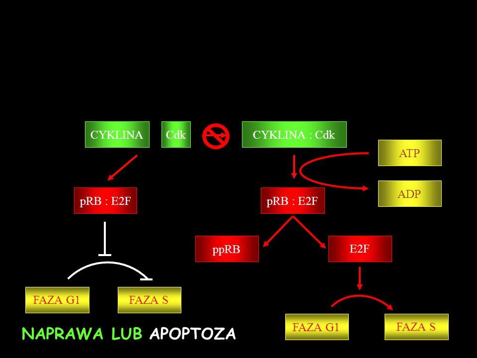 NAPRAWA LUB APOPTOZA CYKLINA Cdk CYKLINA : Cdk ATP pRB : E2F ADP