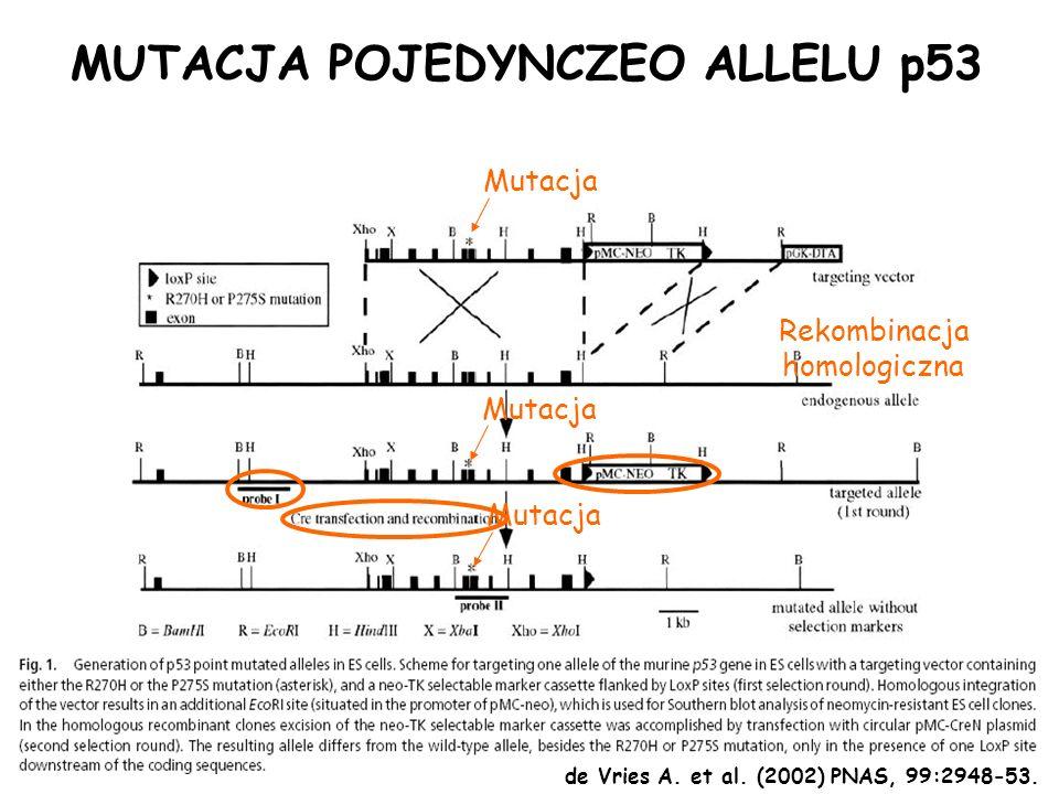 MUTACJA POJEDYNCZEO ALLELU p53