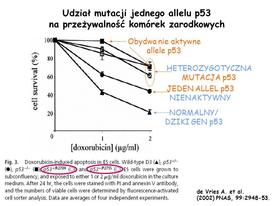 Udział mutacji jednego allelu p53 na przeżywalność komórek zarodkowych