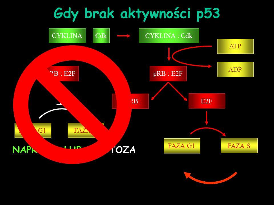 Gdy brak aktywności p53 NAPRAWA LUB APOPTOZA CYKLINA : Cdk pRB : E2F