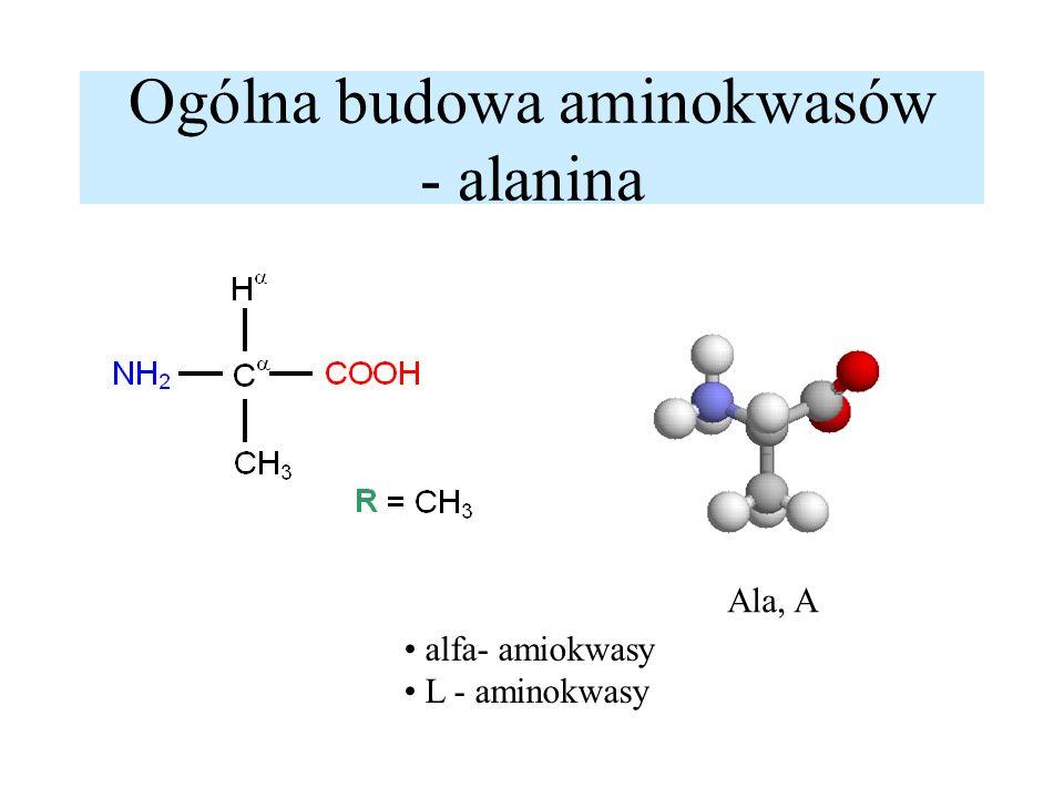 Ogólna budowa aminokwasów - alanina