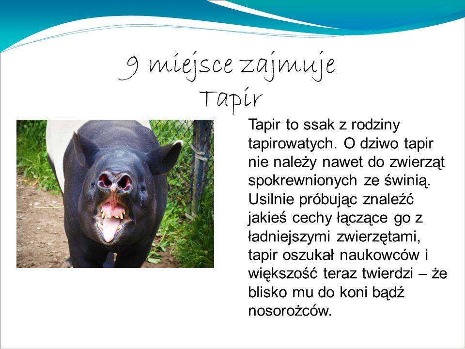 9 miejsce zajmuje Tapir.