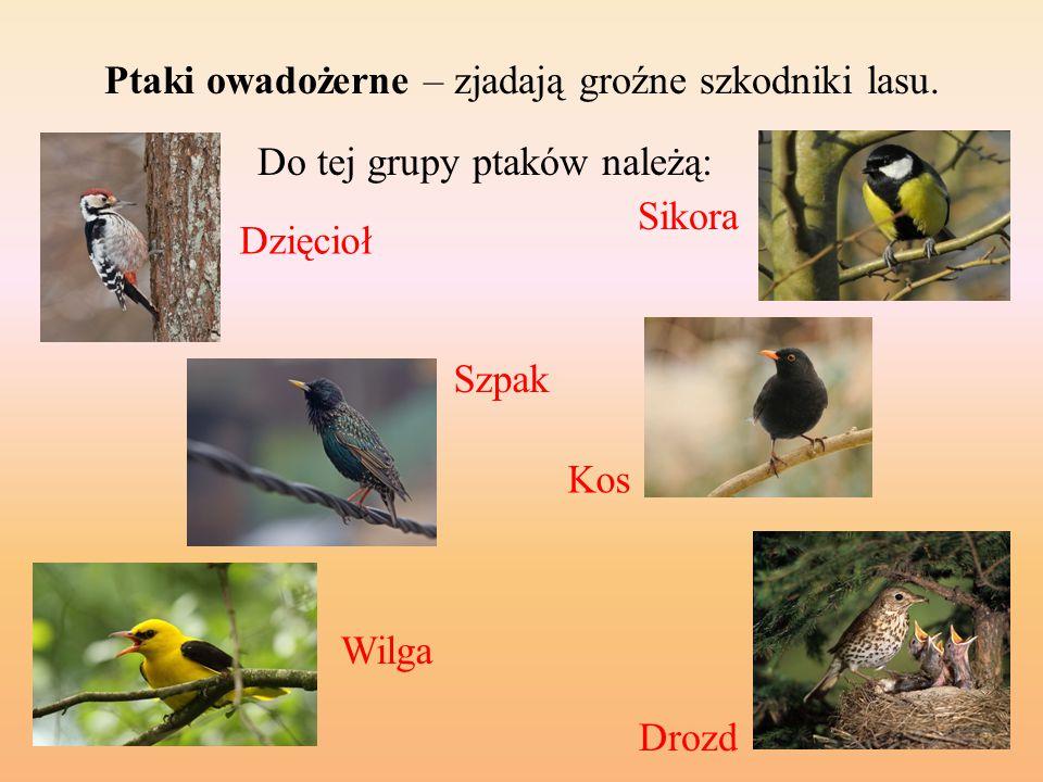 Ptaki owadożerne – zjadają groźne szkodniki lasu.