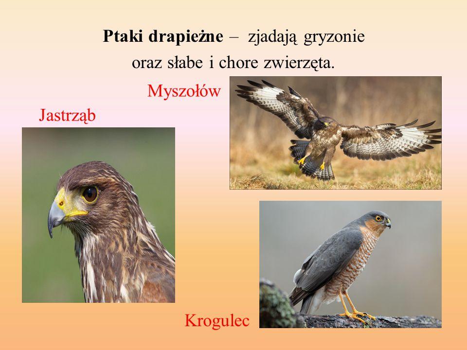 Ptaki drapieżne – zjadają gryzonie oraz słabe i chore zwierzęta.