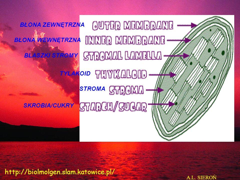 http://biolmolgen.slam.katowice.pl/ BŁONA ZEWNĘTRZNA BŁONA WEWNĘTRZNA