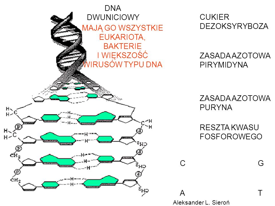 DNA DWUNICIOWY CUKIER DEZOKSYRYBOZA MAJĄ GO WSZYSTKIE EUKARIOTA,
